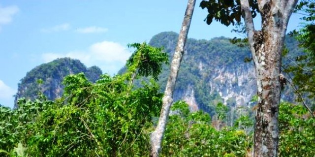 Thailand Rubber Farm – Quiet Land Plot in Krabi for Sale Image by Phuket Realtor